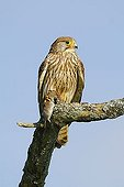 Common Kestrel (Falco tinnunculus) sitting with captured Common Vole (Microtus arvalis)