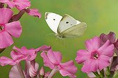 Small White (Pieris rapae), butterfly, Saxony-Anhalt, Germany