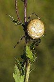 Four Spot Orb Weaver (Araneus quadratus), female, Riedener Lake, Lech Valley, Ausserfern, Tyrol, Austria, Europe