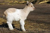 Chèvre ; Young domestic goat (Capra hircus)