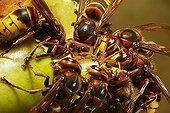 European Hornets (Vespa crabro) feeding on fallen fruit