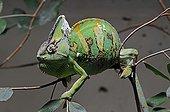 Veiled Chameleon or Yemen Chameleon (Chamaeleo calyptratus
