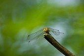 Dragonfly (Odonata) about to take off, Pamhagen, Burgenland, Austria, Europe