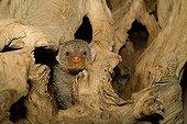 Banded Mongoose (Mungos mungo) peaking out of aged wood, Luisenpark, Mannheim, Baden-Wuerttemberg, Germany, Europe