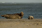 Atlantic Grey Seal (Halichoerus grypus) mother and pup on the beach at Helgoland Island, North Sea, Lower Saxony, Germany, Europe