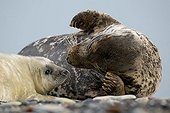 Atlantic Grey Seal (Halichoerus grypus) mother with pup, Helgoland Island, North Sea, Lower Saxony, Germany, Europe
