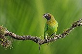 Brown-hooded Parrot on a branch in Costa Rica
