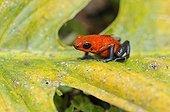 Dendrobate fraise sur une feuille au Costa Rica