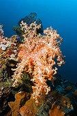 Steep drop with Klunzingeri Soft Coral (Dendronephthya klunzingeri), corals, reef, Bali, Lesser Sunda Islands, Bali Sea, Indonesia, Indian Ocean, Asia