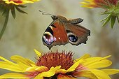 European Peacock Butterfly (Inachis io), Saxony-Anhalt, Germany
