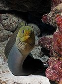 Green Moray (Gymnothorax funebris), an eel, looking inquisitively out of its hole in the coral reef, barrier reef, San Pedro, Ambergris Cay Island, Belize, Central America, Caribbean