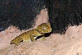 Rough Central Knob-tailed Gecko (Nephrurus amyae), Northern Territory, Australia