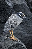 Yellow-crowned Night Heron (Nyctanassa violacea), Santiago Island, San Salvador, James Island, Puerto Egas, Galapagos Achipelago, UNESCO World Heritage Site, Ecuador, South America