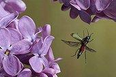Malachite Beetle (Malachius bipustulatus)