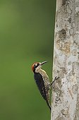 Black-cheeked Woodpecker on a trunk in Costa Rica