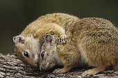 Smith's Bush Squirrels making their toilet in South Africa