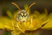 Wild bee (Nomada)