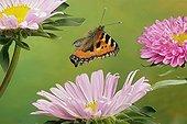 Small Tortoiseshell (Nymphalis urticae), butterfly, Saxony-Anhalt, Germany