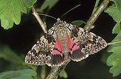 Light Crimson Underwing Moth (Catocala promissa)