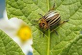 Colorado potato beetle (Leptinotarsa decemlineata)