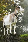 Domestic Goat (Capra hircus hircus) on a misty mountain pasture in Autumn, North Tyrol, Austria, Europe