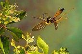 Ichneumon Wasp (Ichneumon sp.)