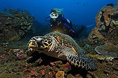 Hawksbill turtle (Eretmochelys imbricata), diver, watching, torch, coral reef, Bali, island, Lesser Sunda Islands, Bali Sea, Indonesia, Indian Ocean, Asia