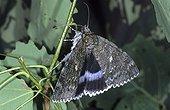 Blue Underwing moth (Catocala fraxini)