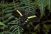 Urania butterfly Costa Rica