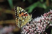 Painted Lady - Cynthia cardui - Germany
