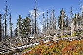 Dead spruces in National Park Bavarian Forest Germany