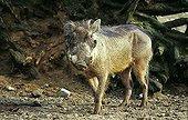 Phacochère ; Wart hog