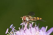 Hoverfly Epistrophe balteata - wood scabious Knautia sylvatica - Germany