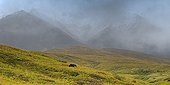 Grizzly bear (Ursus arctos horribilis) in the alpine tundra, Denali National Park, Alaska, USA, North America