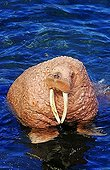 Pacific walrus (Odobenus rosmarus divergens, portrait, Bering Sea, Alaska
