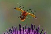 Common red soldier beetle(Rhagonycha fulva)