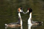 Great Crested Grebe (Podiceps cristatus) in courtship behaviour