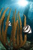 Banded Butterflyfishes swimming Southwest Coast Bonaire