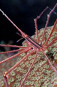Arrow Crab in the Southwest Coast of Bonaire