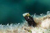Blenny in the Southwest Coast of Bonaire