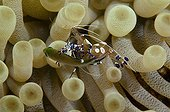 Spotted shrimp cleaning a Demoiselle Bonaire