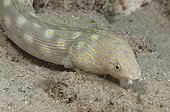 Goldspotted eel in the southwest coast of Bonaire