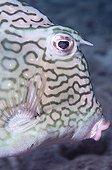 Portrait of a Boxfish in the southwest coast of Bonaire