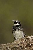 Acorn Woodpecker (Melanerpes formicivorus), male, Madera Canyon, Tucson, Arizona, USA