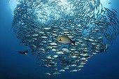 Shoal of Bigeye trevallys, (Caranx sexfasciatus), Diver, fish, Tulamben, Bali, Indonesia, Indian Ocean, Bali Sea