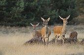 Red Deer (Cervus elaphus), deer rut, Hoge Veluwe National Park, Gelderland, Netherlands, Europe