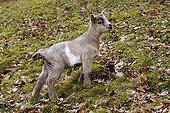 Domestic Goat (Capra aegagrus), kid standing in grass
