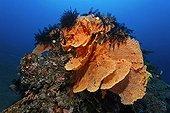Coral sea fans (Annella mollis) horn coral, feather stars, sandy ground, Bali, island, Lesser Sunda Islands, Bali Sea, Indonesia, Indian Ocean, Asia