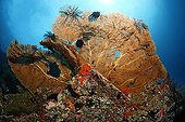 Sea fan, Gorgonia (Supergorgia sp ; Sea fan, Gorgonia (Supergorgia sp.), at Liberty wreck, coral, Tulamben, Bali, Indonesia, Indian Ocean, Bali Sea.