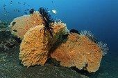 Three Sea Fan Corals (Annella mollis) with feather stars, sea fan, sandy ground, Bali, Lesser Sunda Islands, Bali Sea, Indonesia, Indian Ocean, Asia